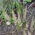 June grass